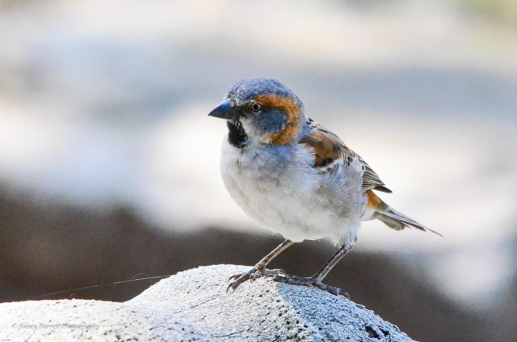 Kenya Rufous Sparrow - Nancy Barrett