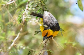 - Black-necked Weaver