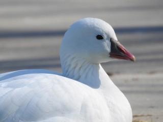 Ross's Goose, ML95103081