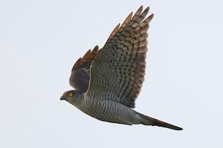 - Japanese Sparrowhawk
