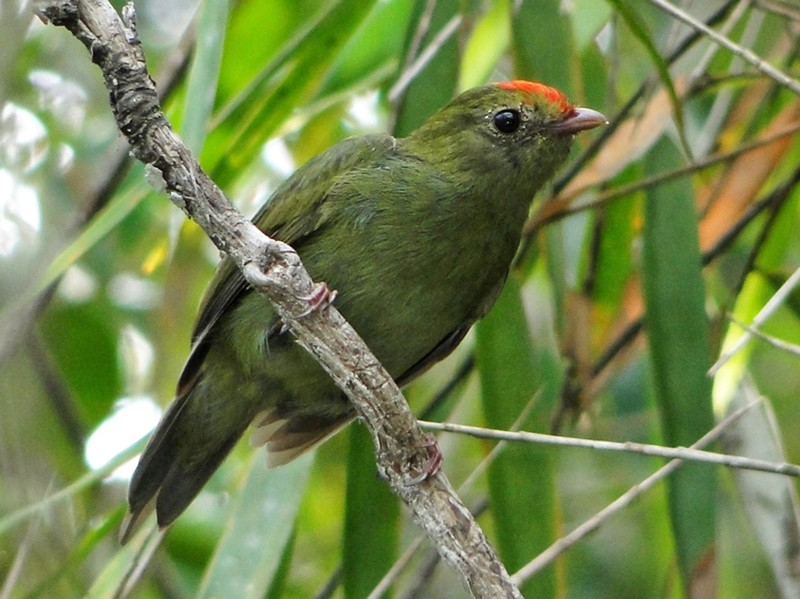 Swallow-tailed Manakin - Carlos Otávio Gussoni