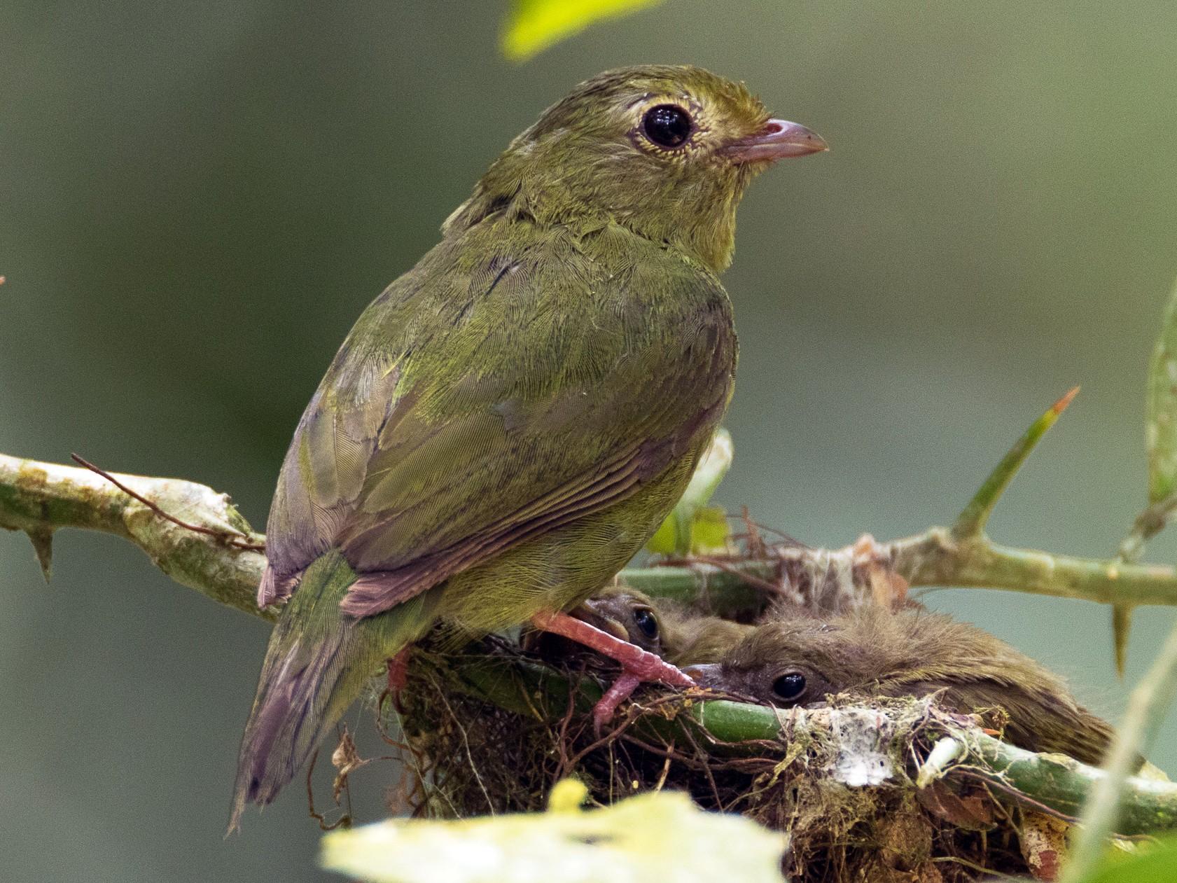Swallow-tailed Manakin - Luana Bianquini