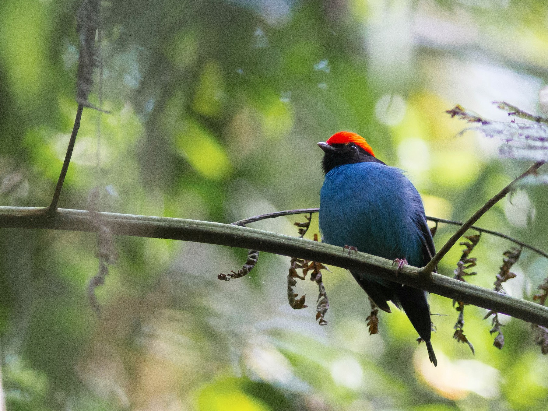 Swallow-tailed Manakin - Projeto  Dacnis