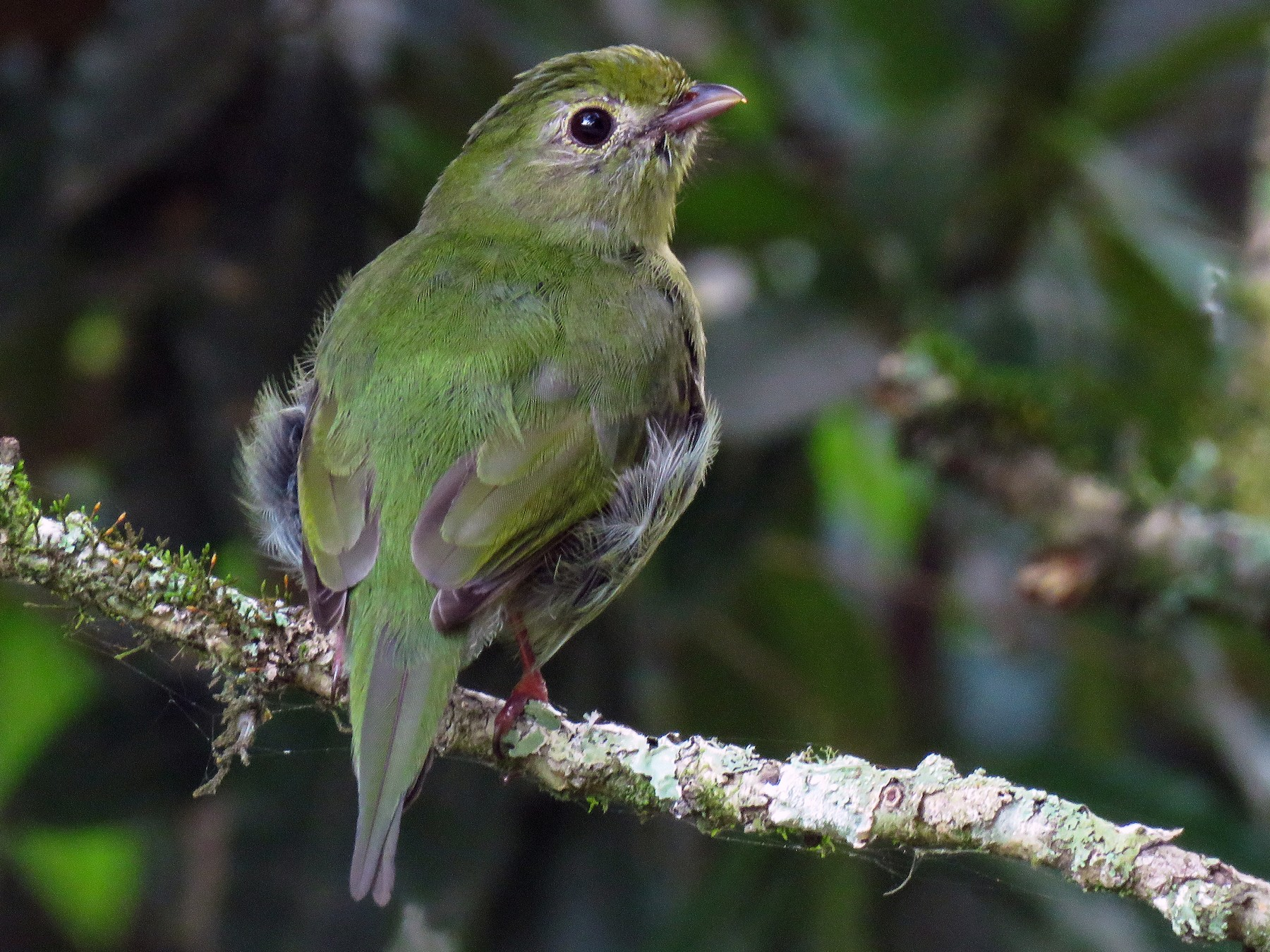 Swallow-tailed Manakin - Raphael Kurz -  Aves do Sul