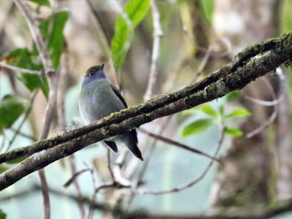 Pin-tailed Manakin - Charley Hesse