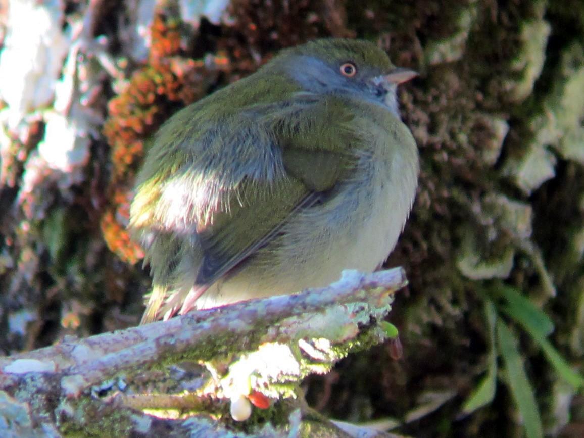 Pin-tailed Manakin - Dave Slager