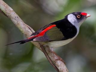 - Pin-tailed Manakin