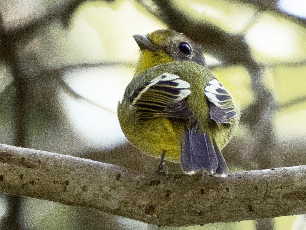 Wing-barred Piprites - Priscila Couto