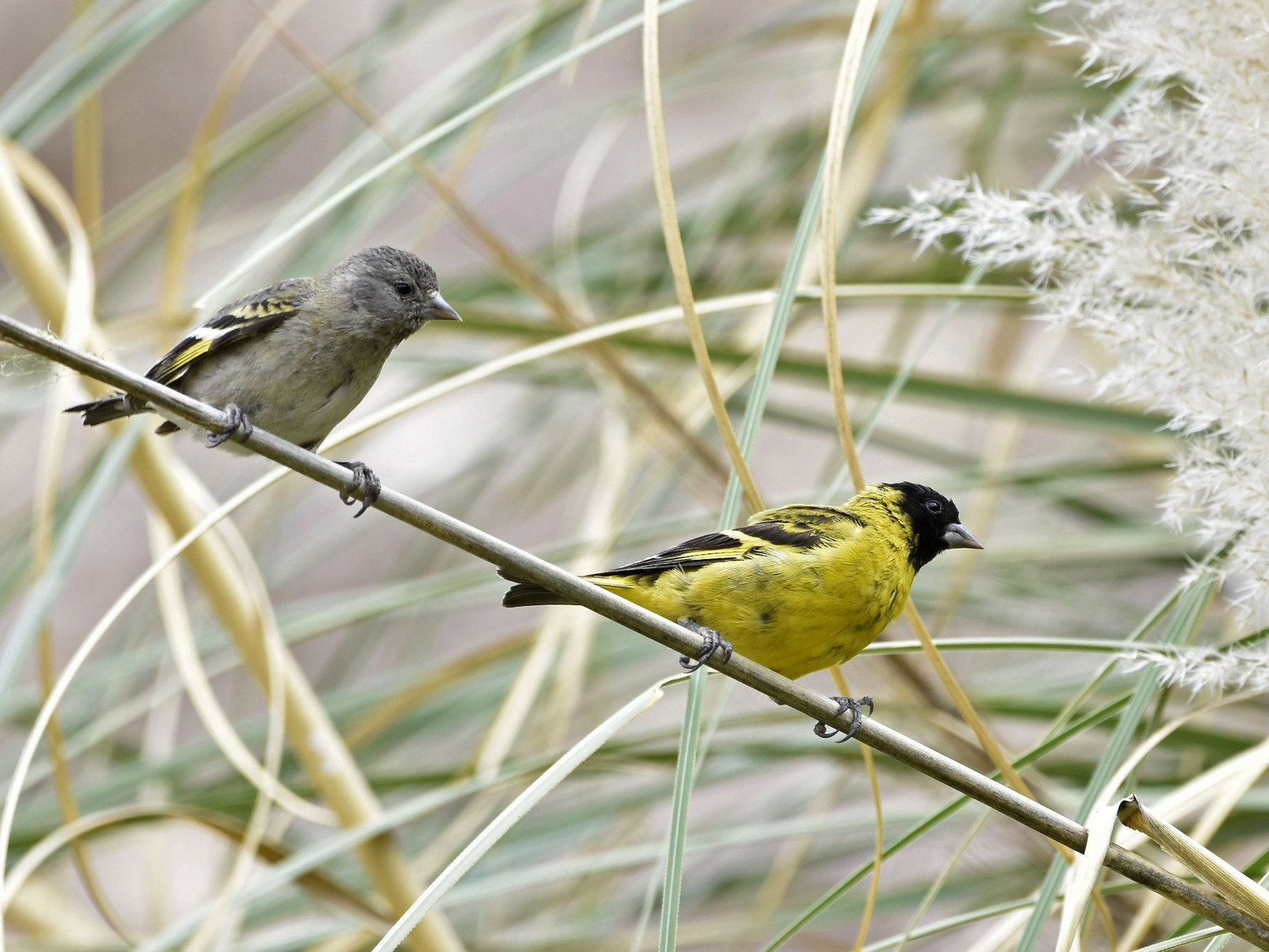 Hooded Siskin - VERONICA ARAYA GARCIA