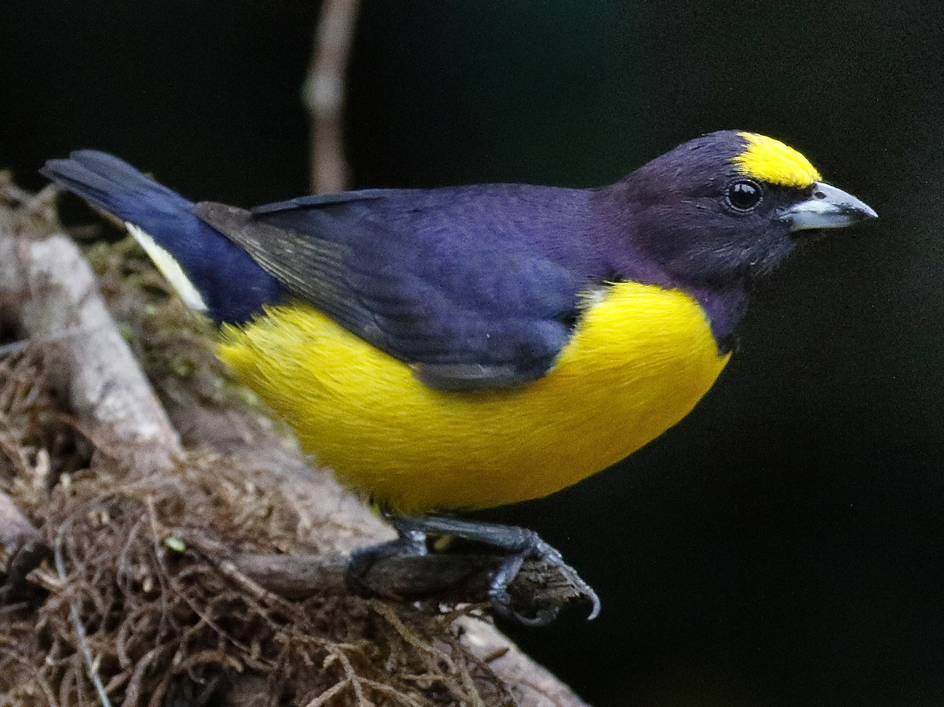 Purple-throated Euphonia - Dave Curtis