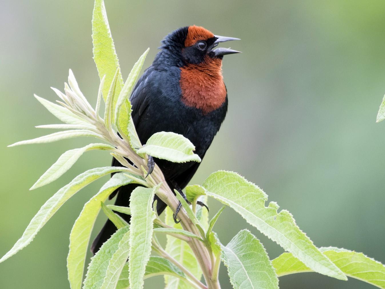 Chestnut-capped Blackbird - Flavio Moraes