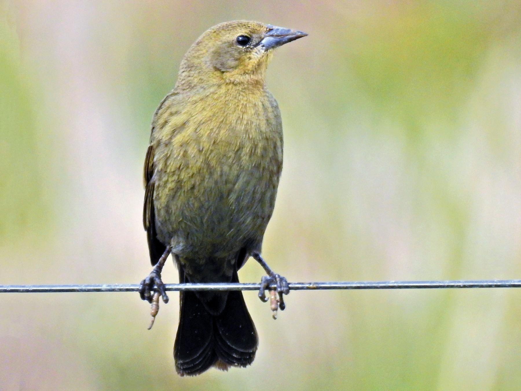Chestnut-capped Blackbird - CLAUDIO JORGE FILHO