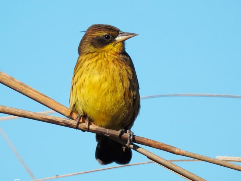 Unicolored Blackbird - Maximiliano Sager
