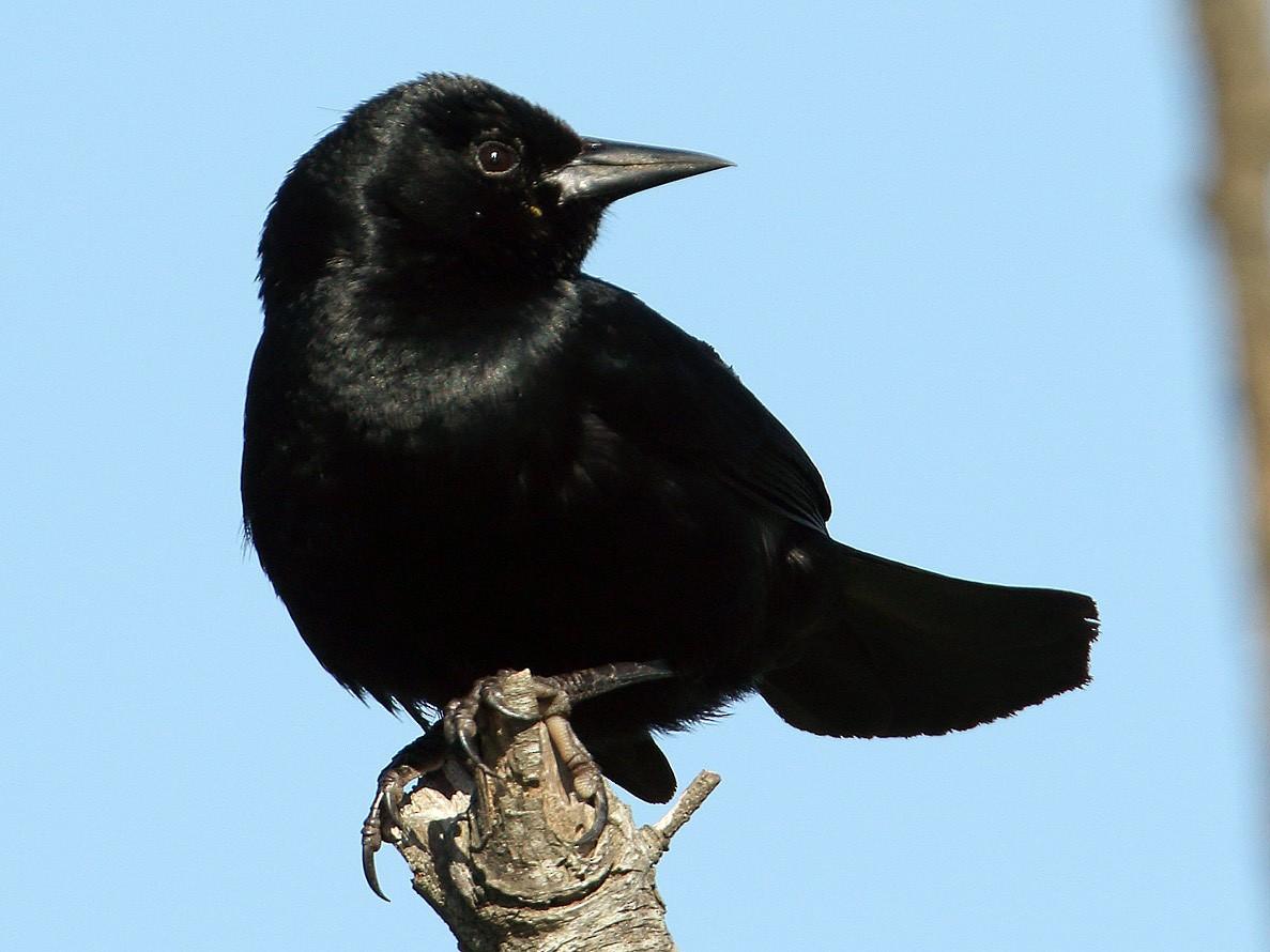 Unicolored Blackbird - Martjan Lammertink