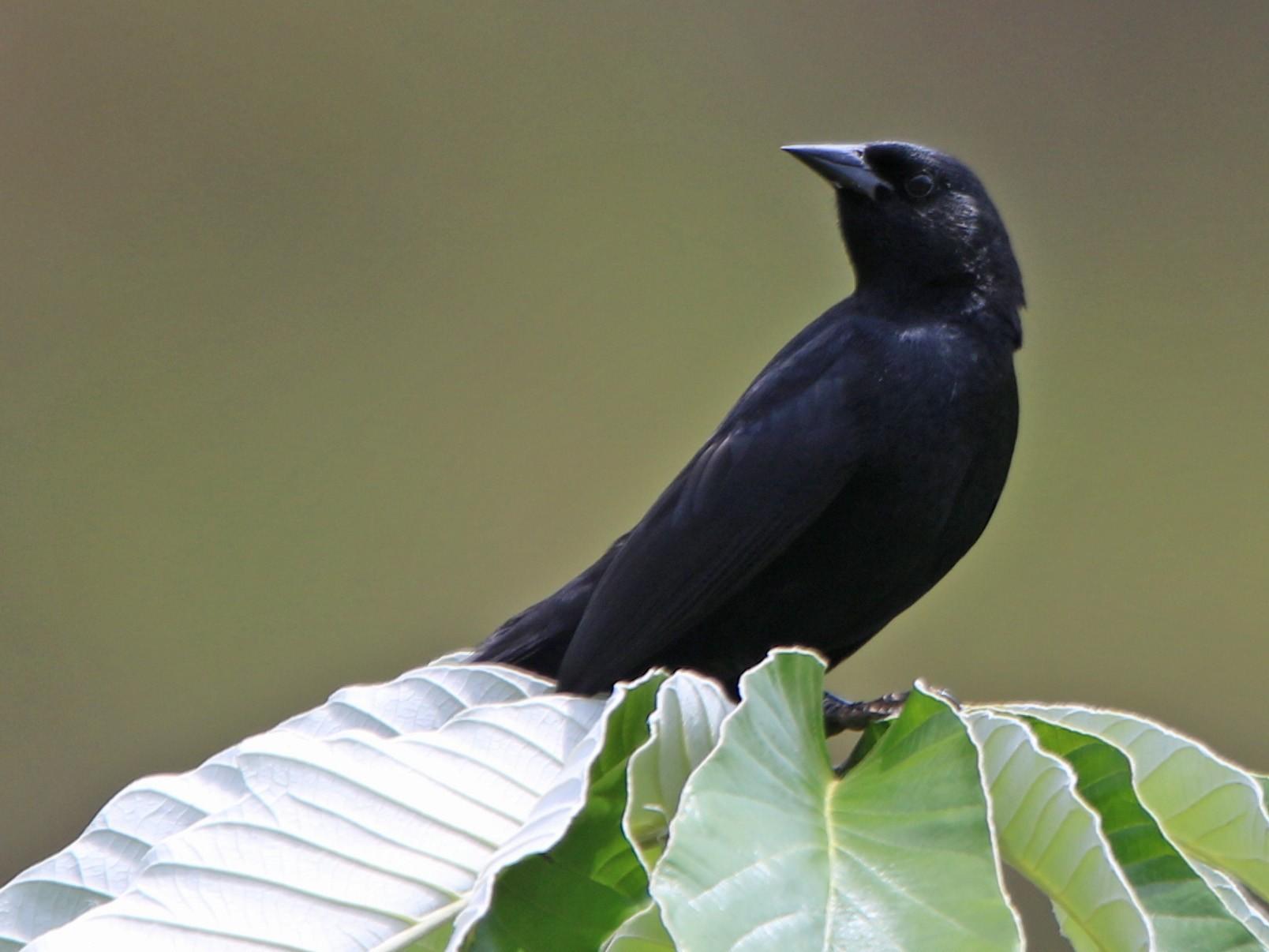 Unicolored Blackbird - Thompson Ian