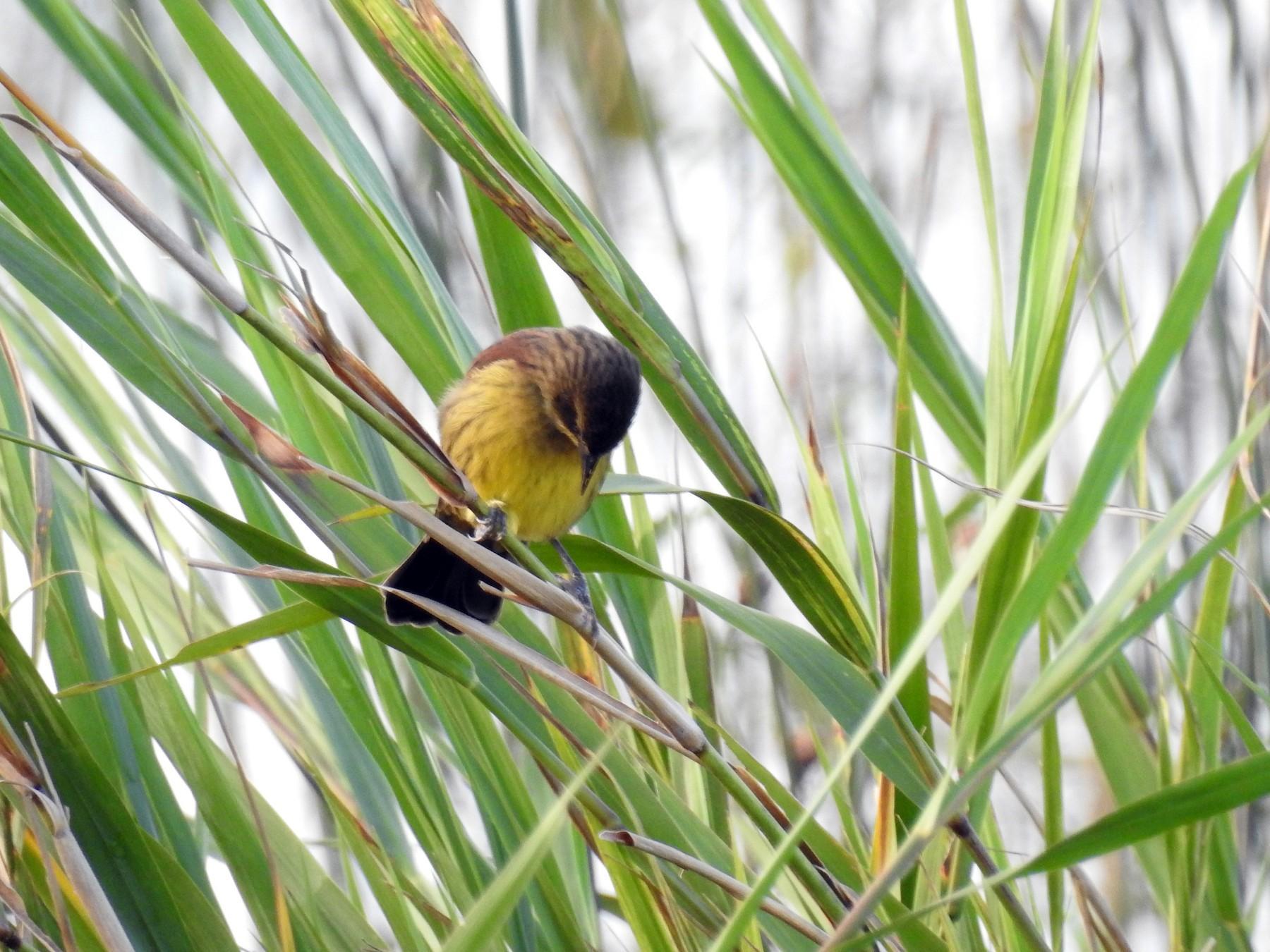 Unicolored Blackbird - Silvia Enggist
