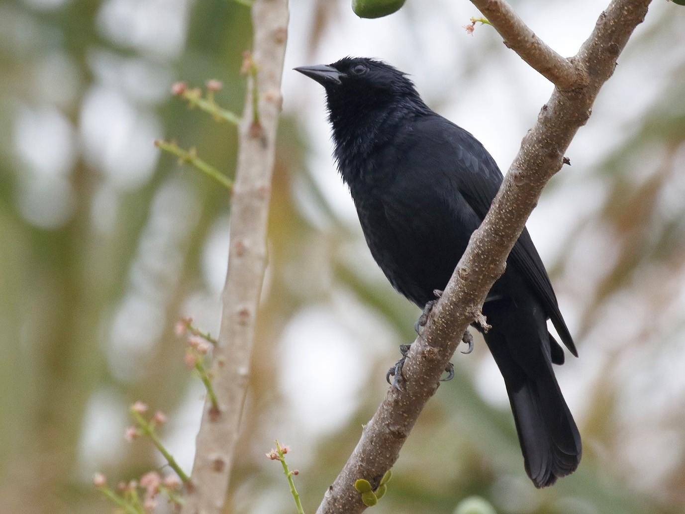 Chopi Blackbird - Dave Curtis