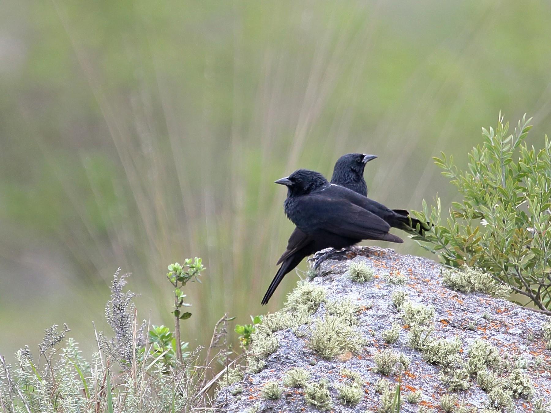 Chopi Blackbird - Luis Labadie