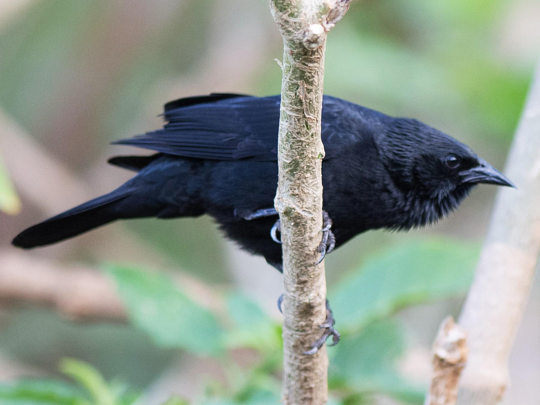Chopi Blackbird - Hudson - BirdsRio