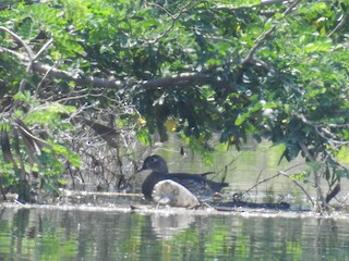 Wood Duck, ML95204031