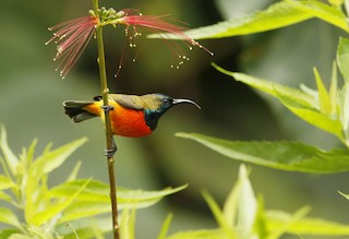 - Flame-breasted Sunbird