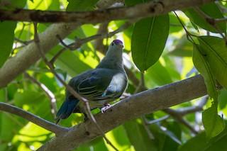 - Makatea Fruit-Dove