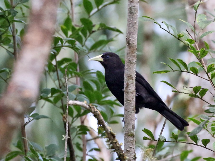 Red-rumped Cacique - Charley Hesse https://www.schoolofbirding.com/