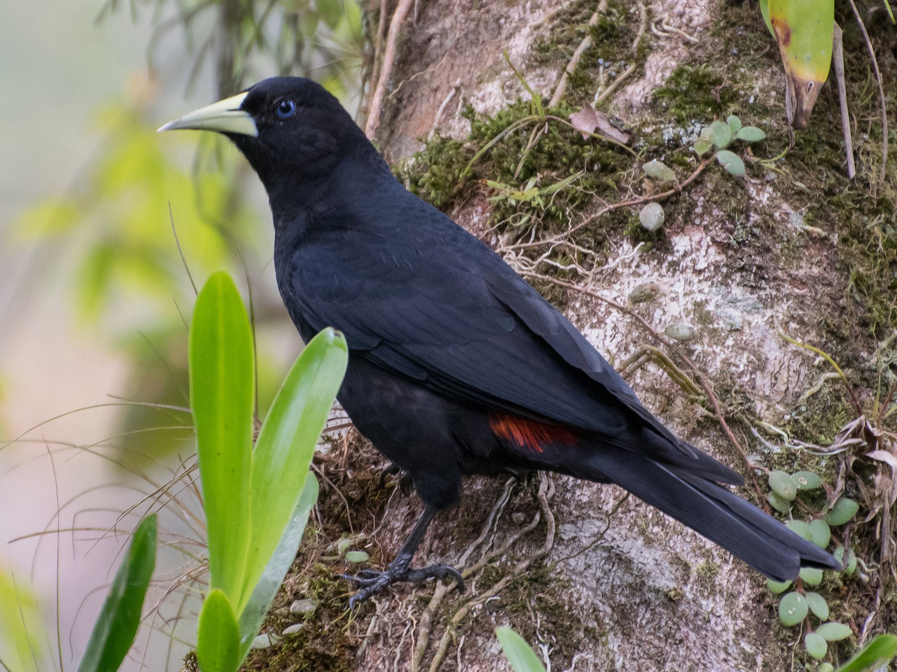 Red-rumped Cacique - Naíla  Lepre