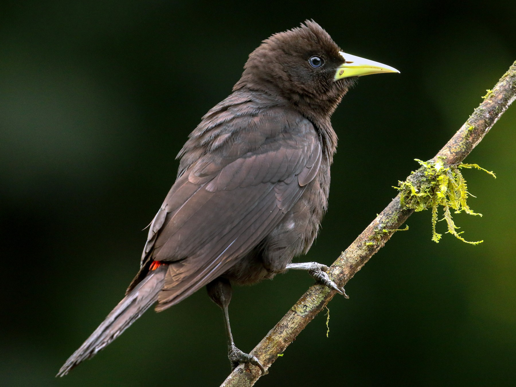 Red-rumped Cacique - Tommy Pedersen