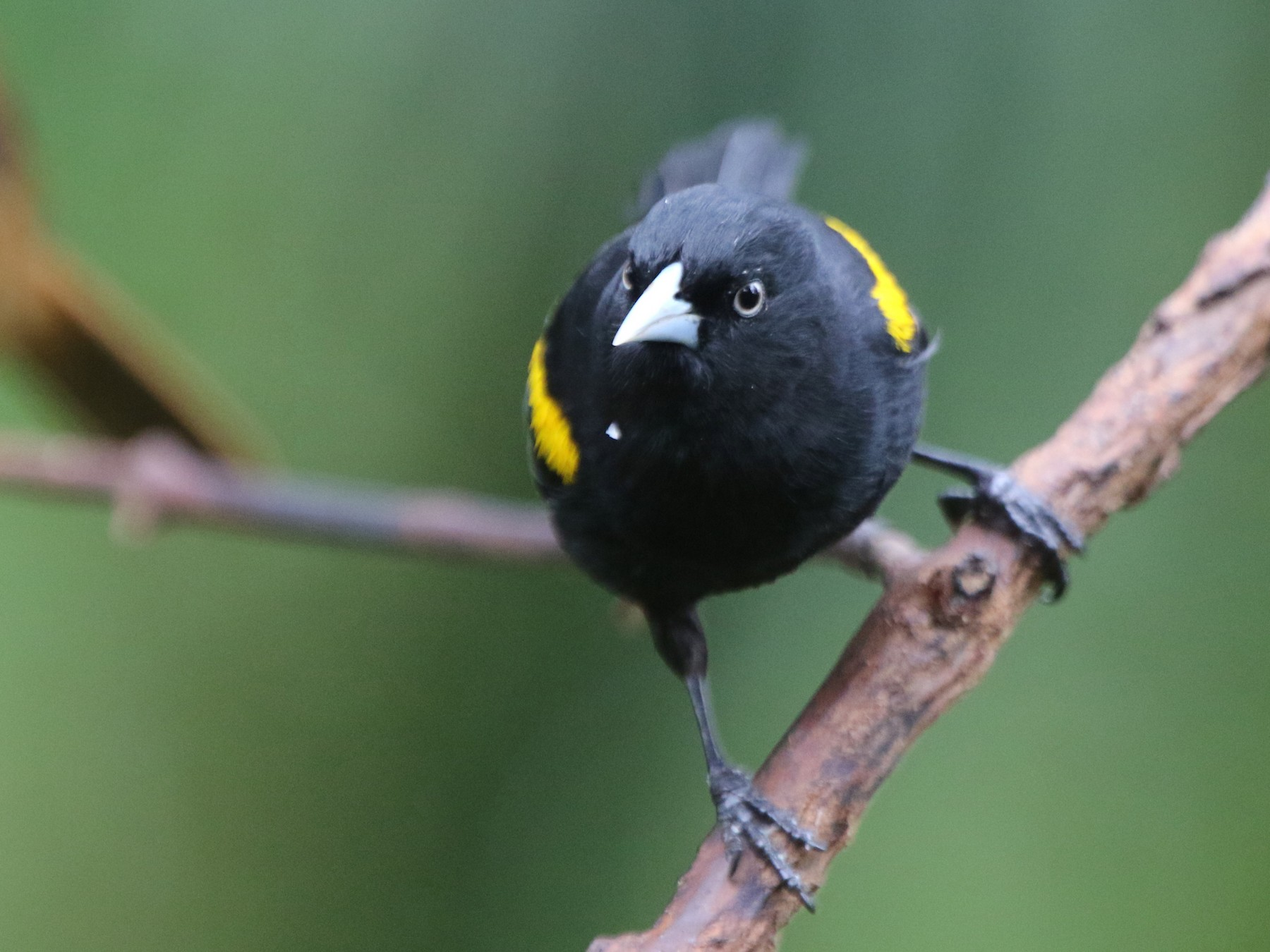Golden-winged Cacique - Ian Thompson