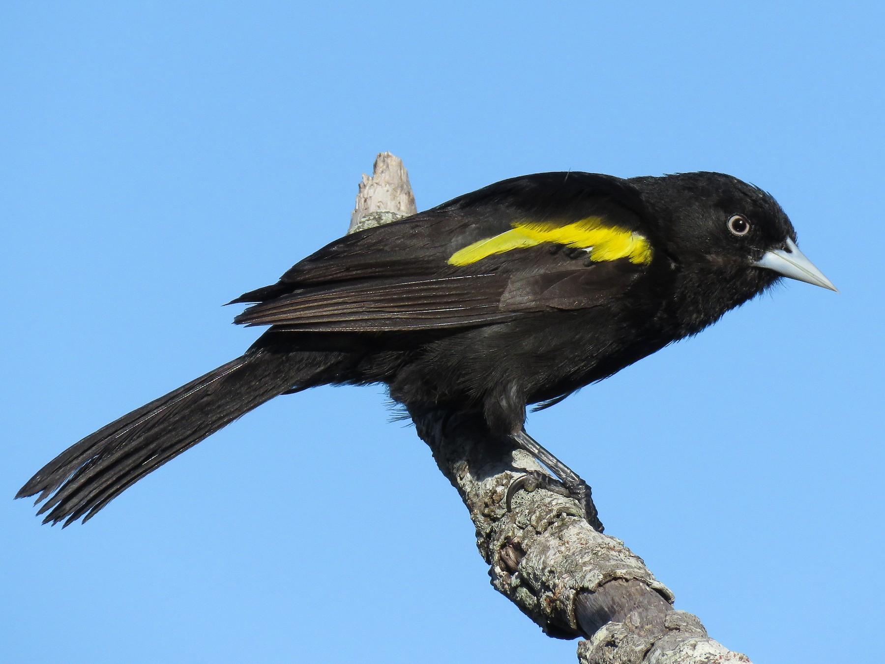 Golden-winged Cacique - Raphael Kurz -  Aves do Sul