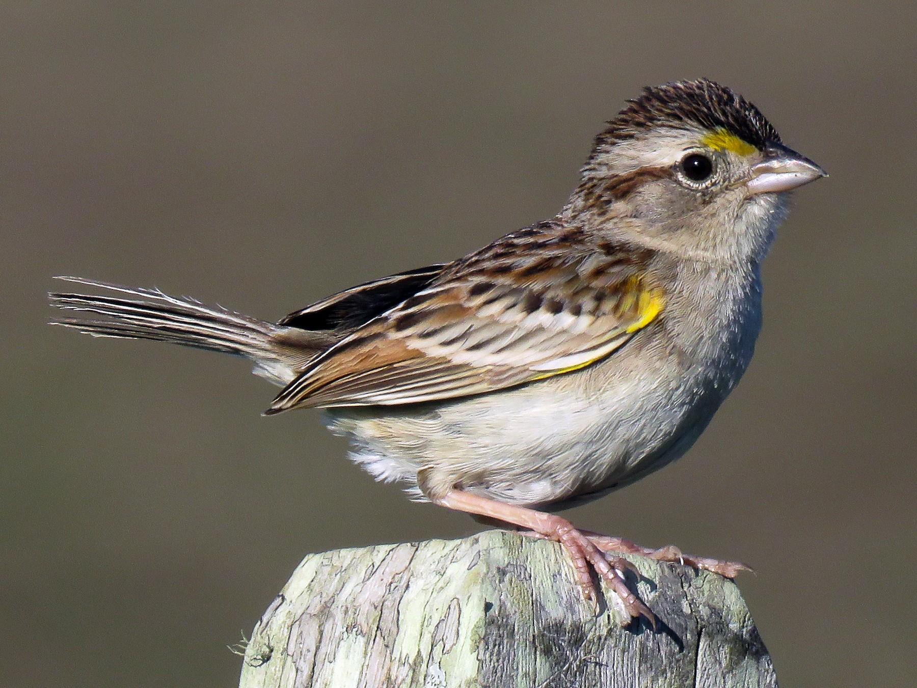 Grassland Sparrow - Raphael Kurz -  Aves do Sul