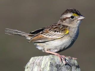 - Grassland Sparrow