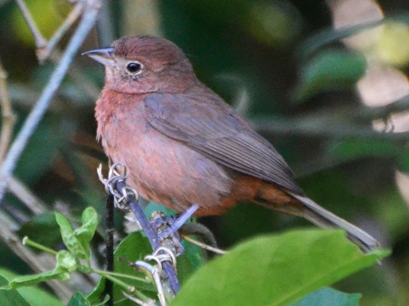 Red-crested Finch - Carlos Eduardo Agne