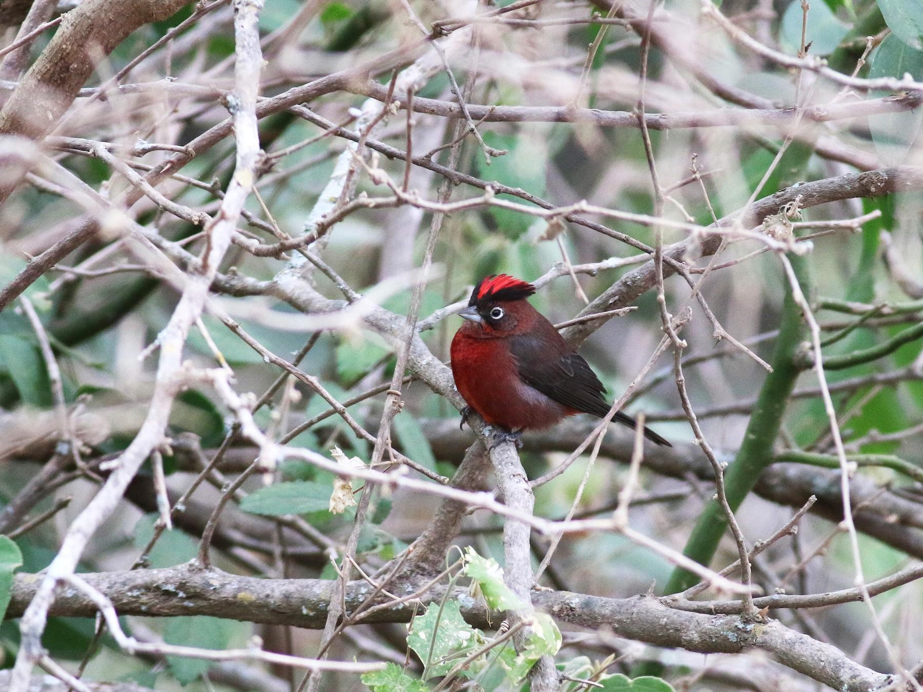 Red-crested Finch - Steve Walker