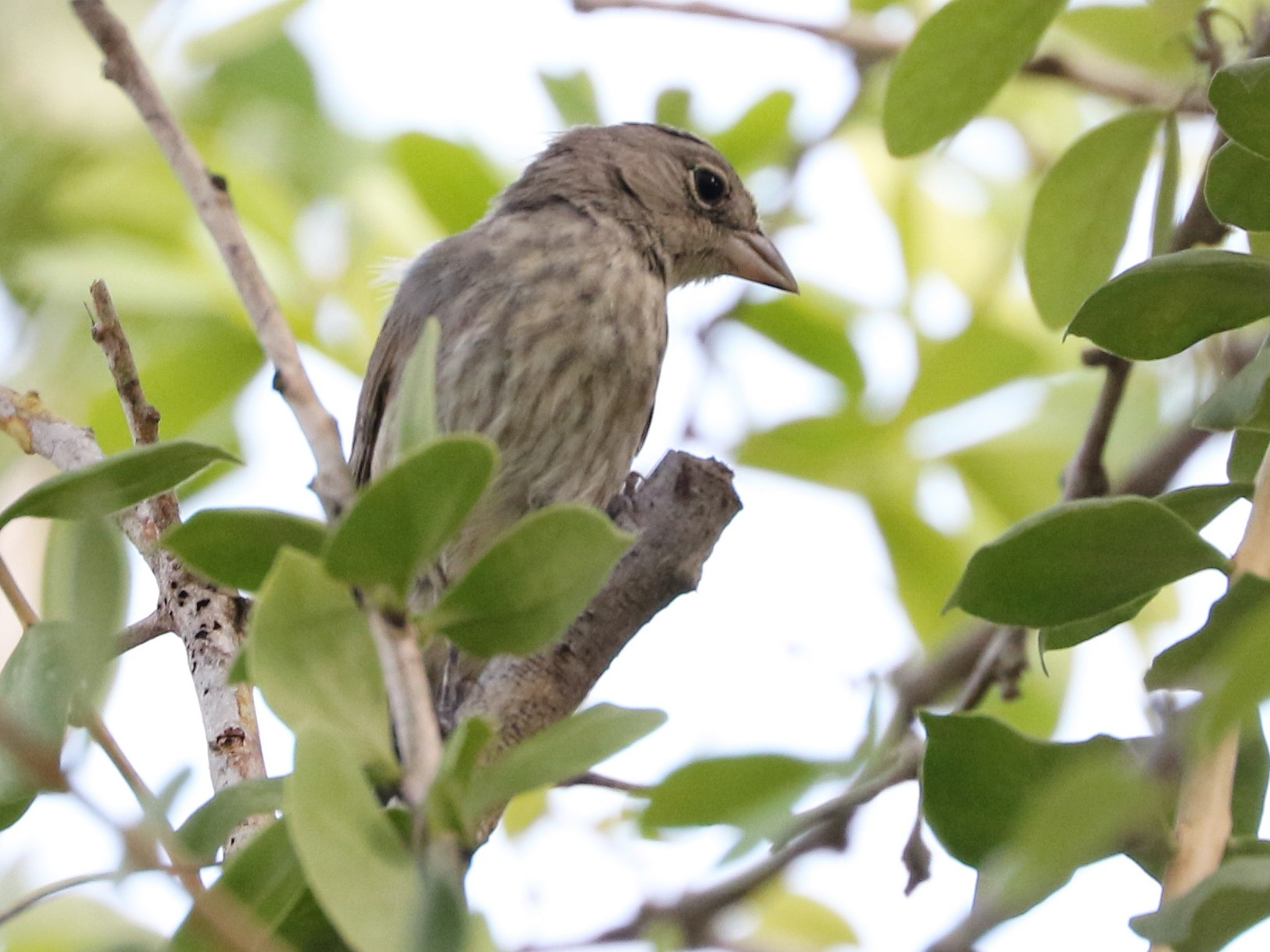 Pileated Finch - Trina Anderson