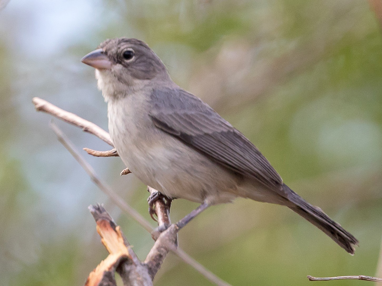 Pileated Finch - Cory Gregory