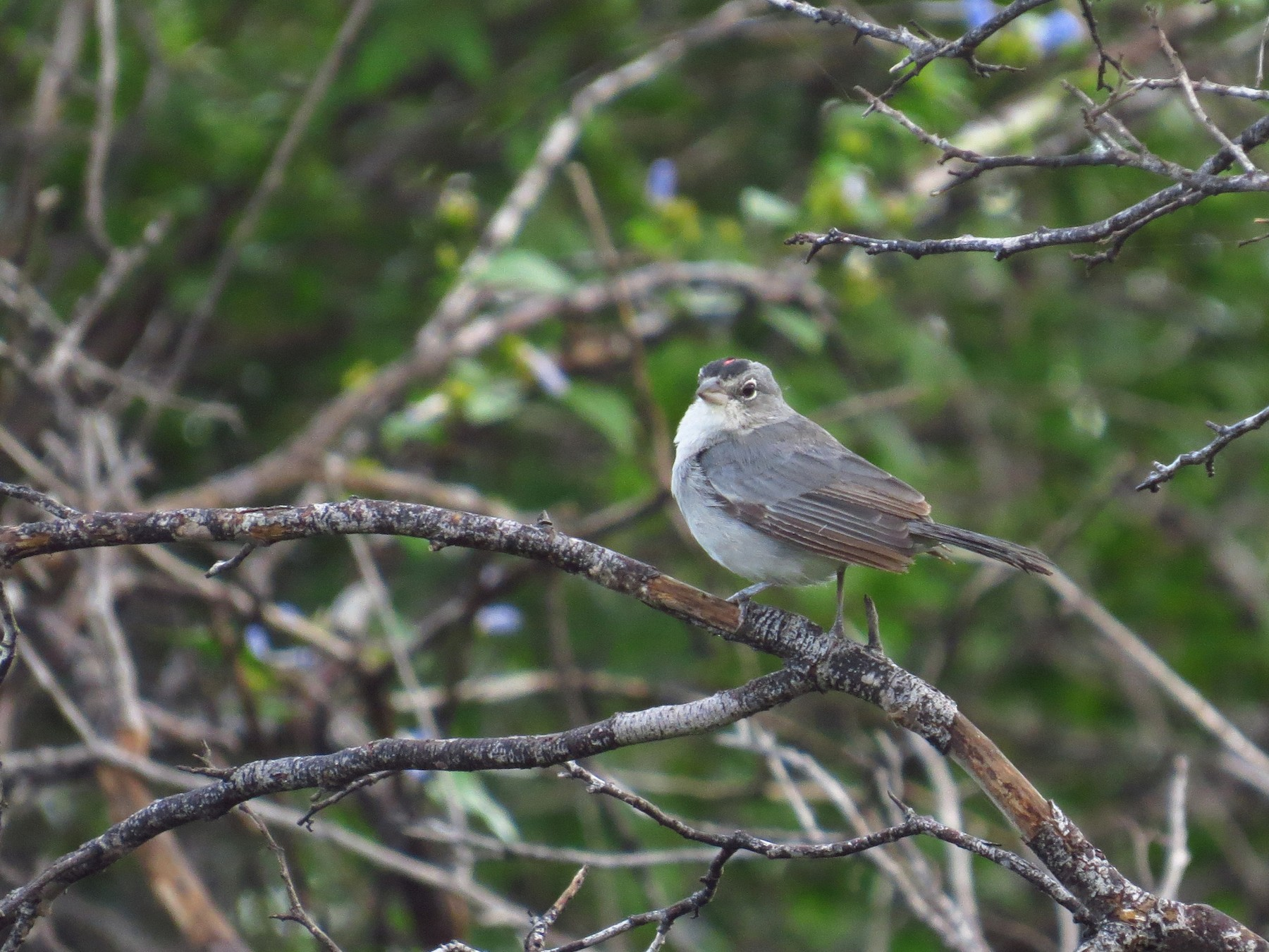 Pileated Finch - Jorge Muñoz García   CAQUETA BIRDING