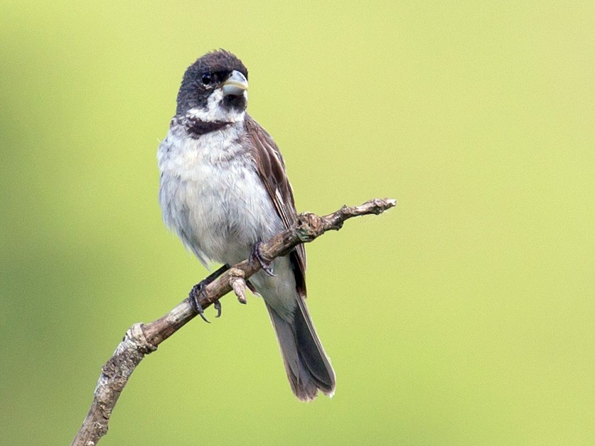 Double-collared Seedeater - David Disher