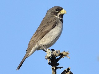 - Double-collared Seedeater