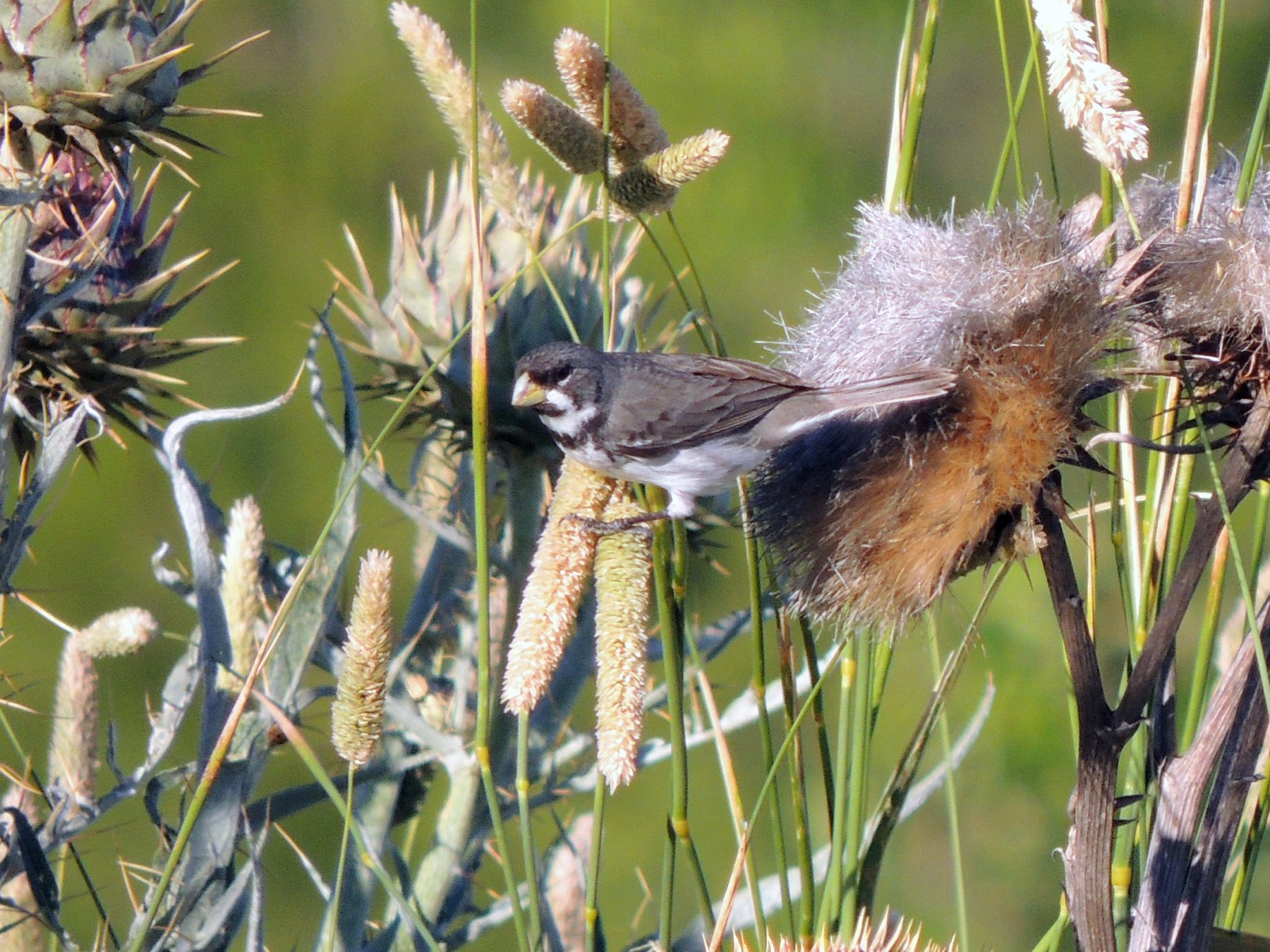 Double-collared Seedeater - Pablo Alejandro Pla