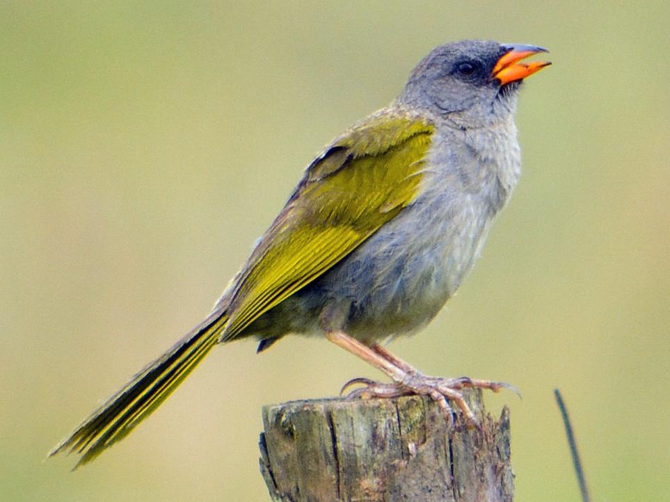 Great Pampa-Finch - João Gava Just