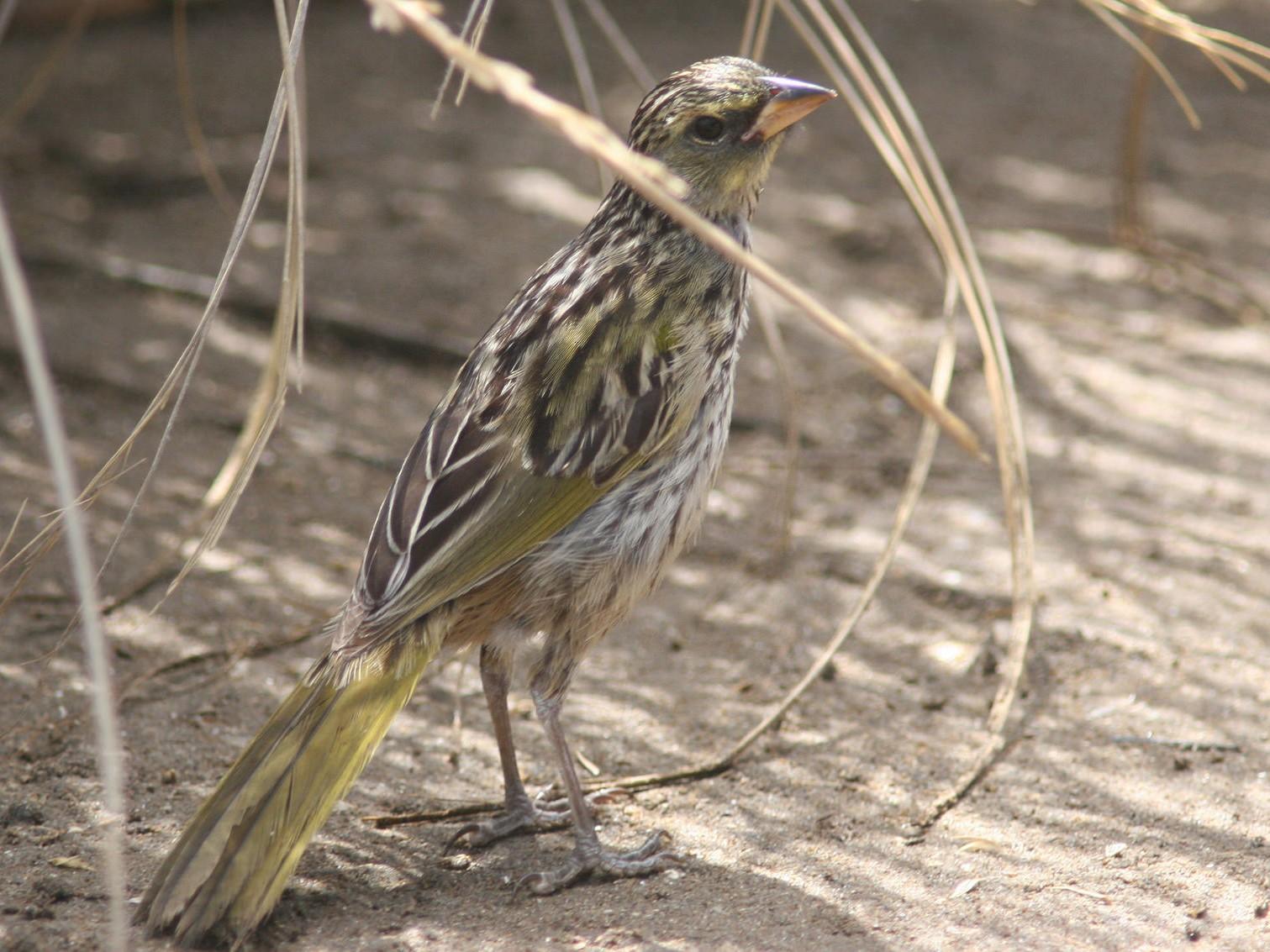 Great Pampa-Finch - Markus Deutsch