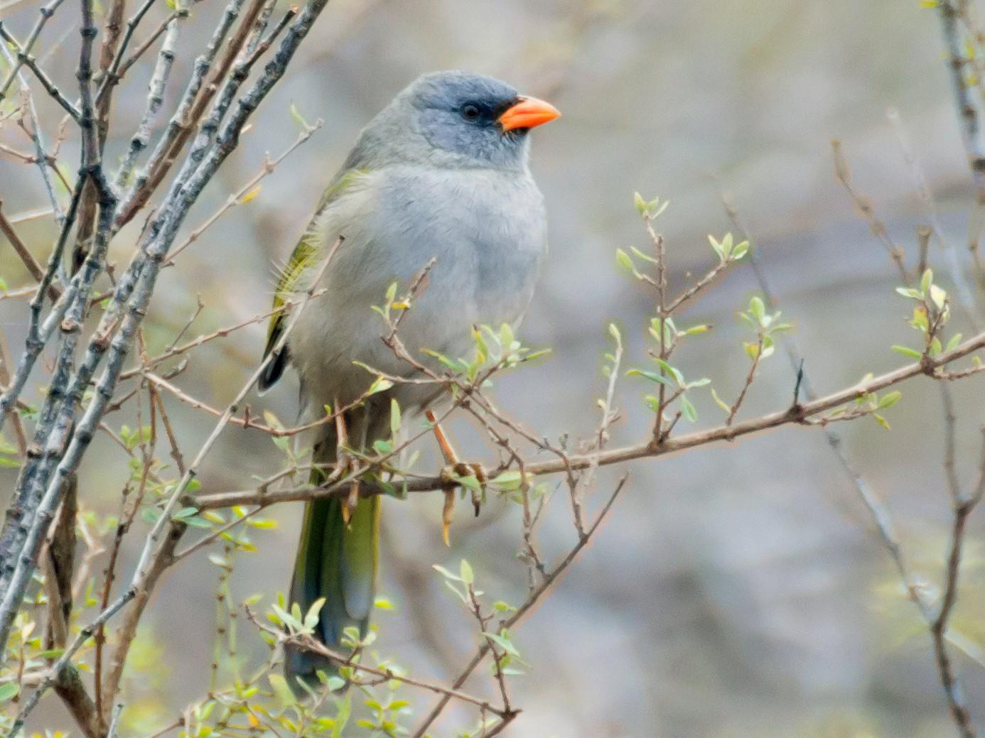 Great Pampa-Finch - Hernán Rojo