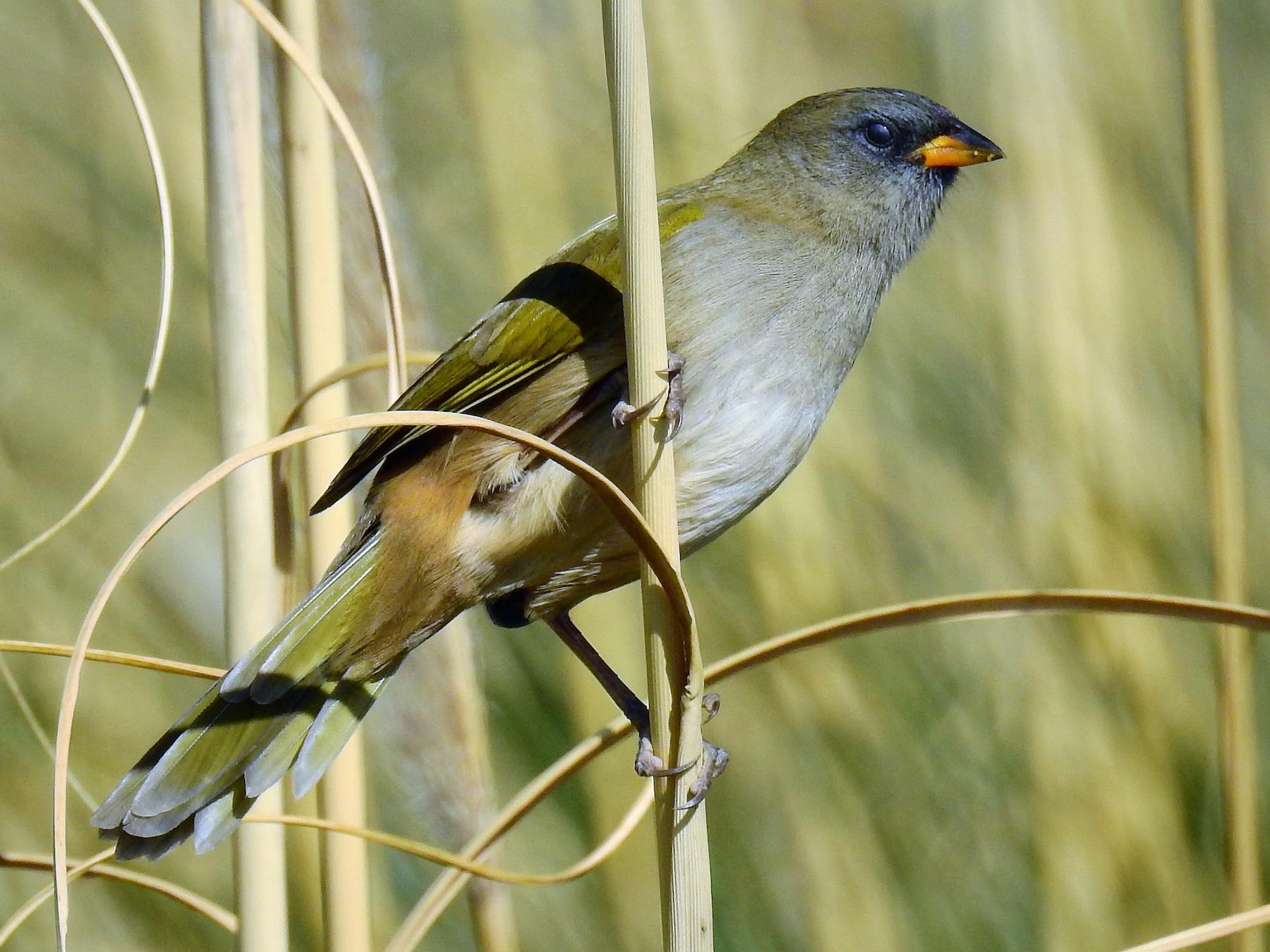Great Pampa-Finch - Pablo Alejandro Pla