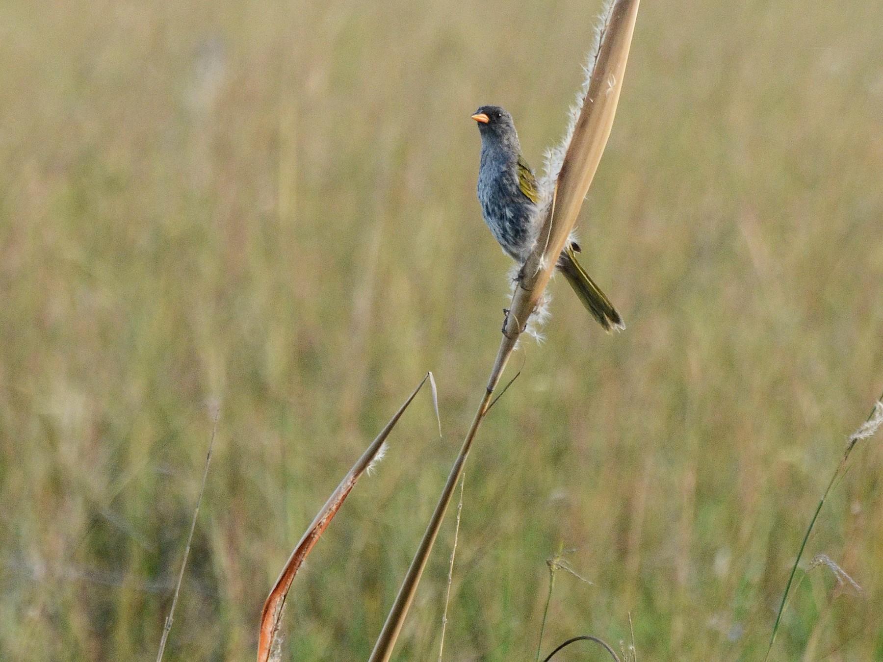Great Pampa-Finch - David M. Bell