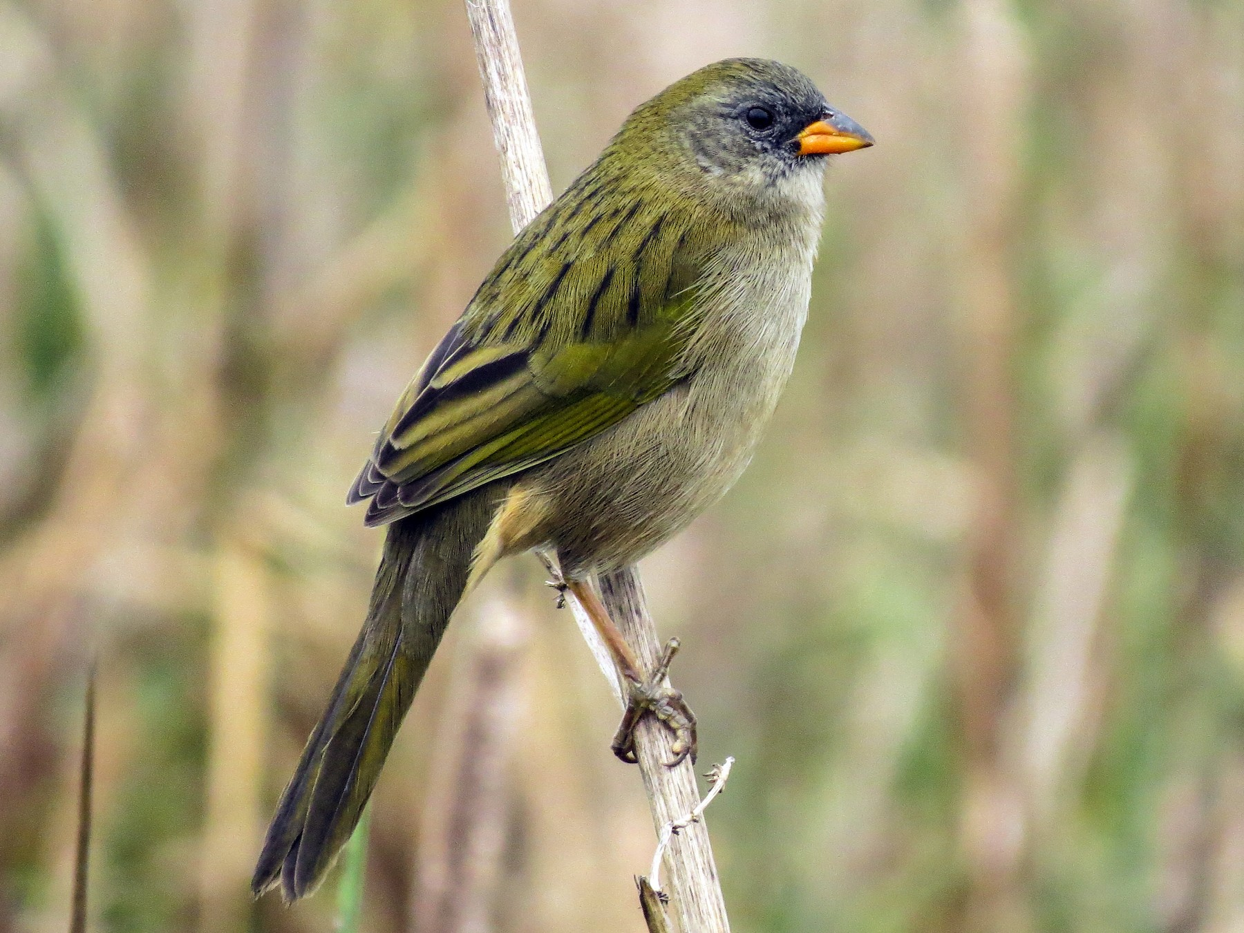 Great Pampa-Finch - Raphael Kurz -  Aves do Sul