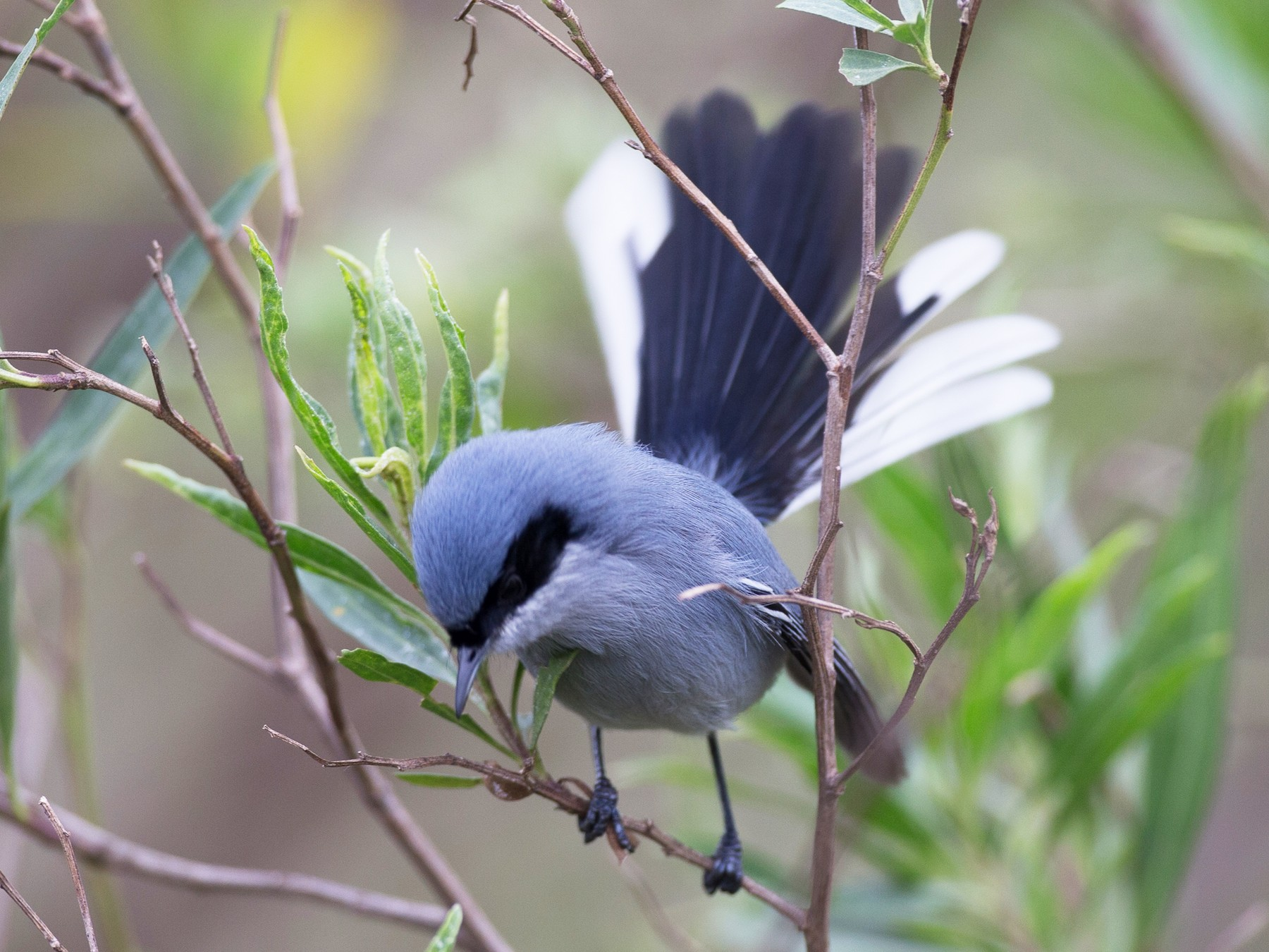 Masked Gnatcatcher - Chris Wood