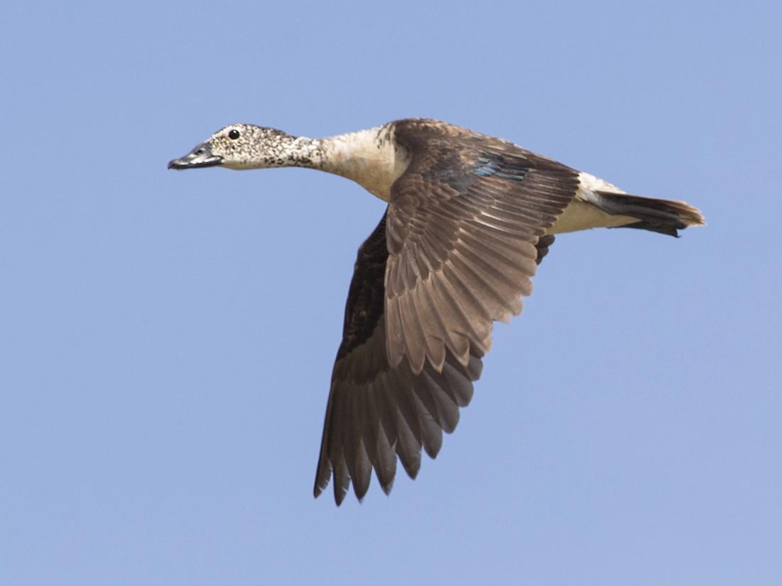 Knob-billed Duck - Zak Pohlen