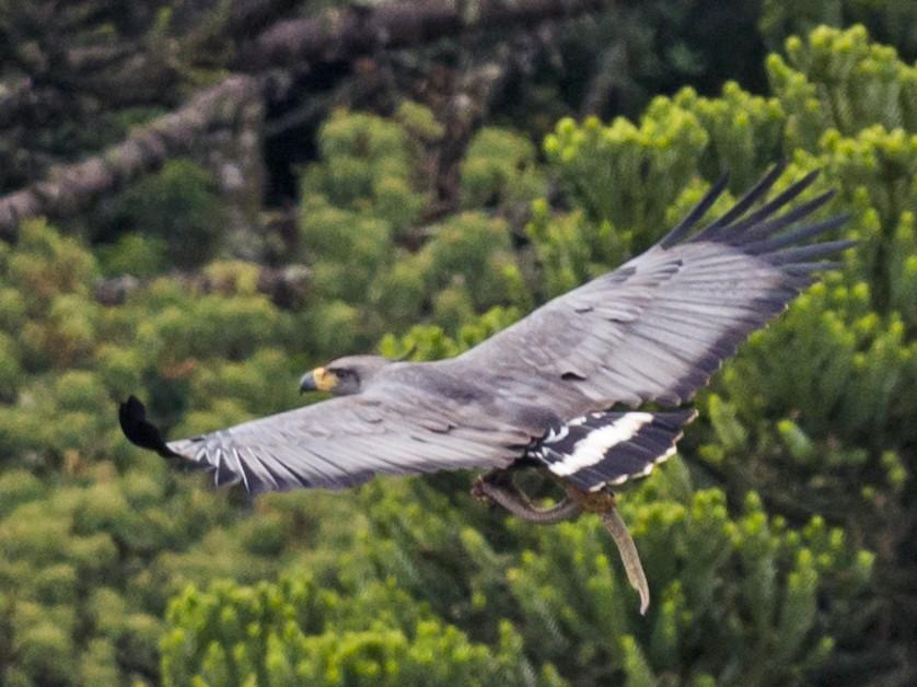Chaco Eagle - Claudia Brasileiro